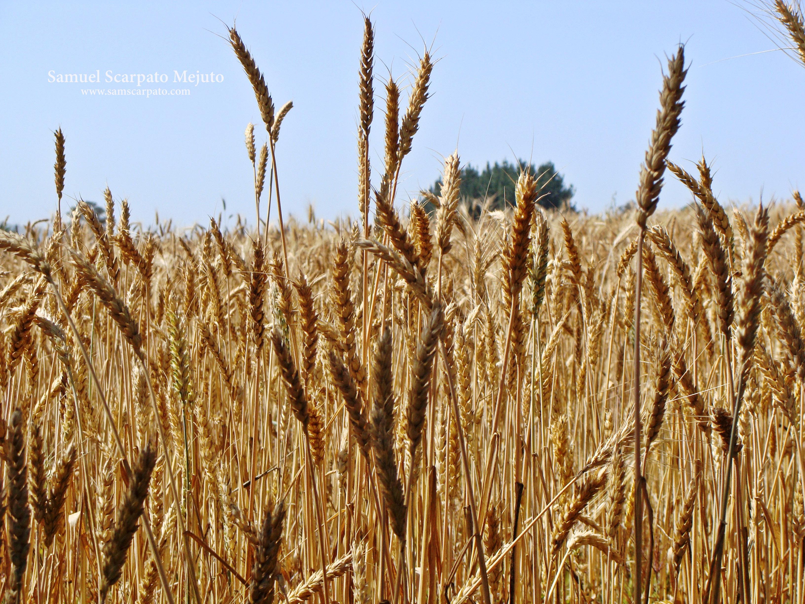Plantación de trigo en Coipolafquén, de Temuco vía San Ramón, sur de Chile.